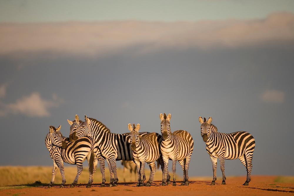 Africa, Tanzania, Ngorongoro Conservation Area, Plains Zebra (Equus burchelli) in Ngorongoro Crater