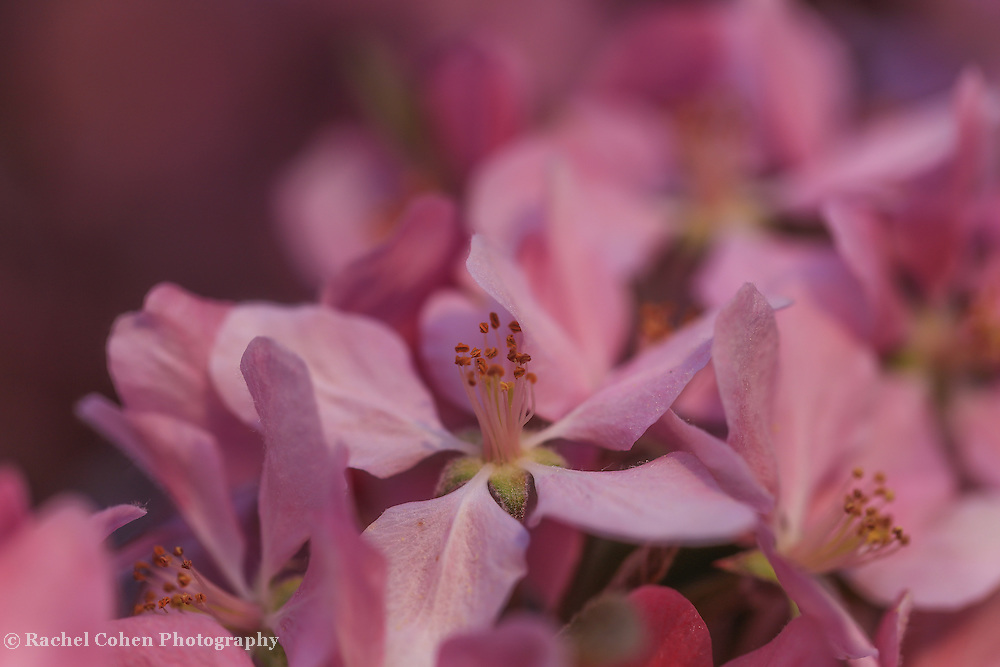 &quot;Of Immense Delight&quot;<br /> <br /> A wonderful macro of pink tree blossoms.