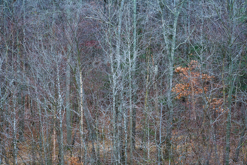 """Skeletons"" - Fine Art Limited Edition. 20 Color Prints. An elevated view  looking into a deciduous hardwood forest, Winter, Southern Maryland"