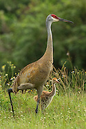 Like all cranes, adult sandhills are extremely devoted both to their mates and their family. Once old enough, young colts will follow their parents as they forage in the tall grass for seed and bugs. Unlike most other wading birds, sandhill cranes do not eat fish.