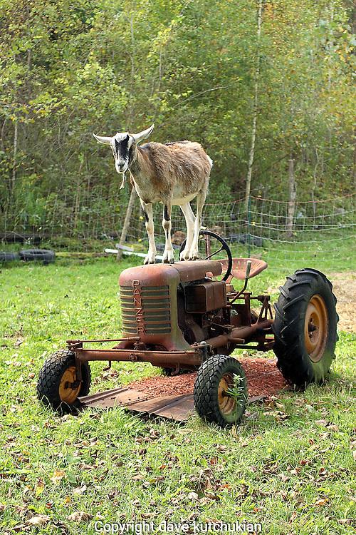 goat-tractor-8540.jpg