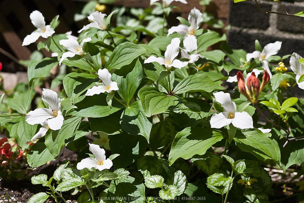 White Trilliums (Trillium grandiflora) and azaleas in a native North American perennial, growing in an urban garden.