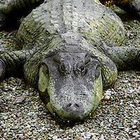 """HOMOSASSA, FL -- January 5, 2009 --  An American alligator rests along the water at the Homosassa Springs Wildlife State Park in Homosassa, Fla., on Monday, January 5, 2009.  The 180-acrepark is built into the natural surroundings, giving visitors a glimpse at wildlife in their natural setting - including the """"Fishbowl,"""" which is a natural spring with and underwater viewing area.  (Chip Litherland for The New York Times)"""