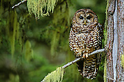 Northern Spotted Owl in old-growth forest; Willamette National Forest, Cascade Mountains, Oregon, USA.