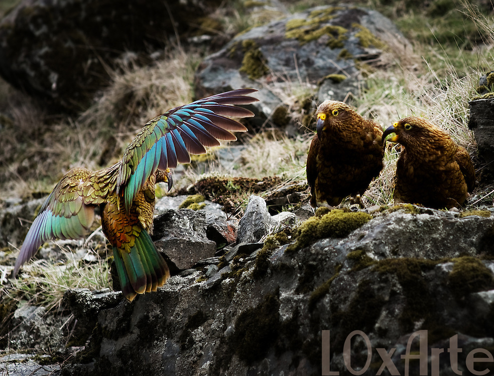 Three kea birds (New Zealand native parrot) of which two are arguing and a third one is landing with it's colourful wings wide open.