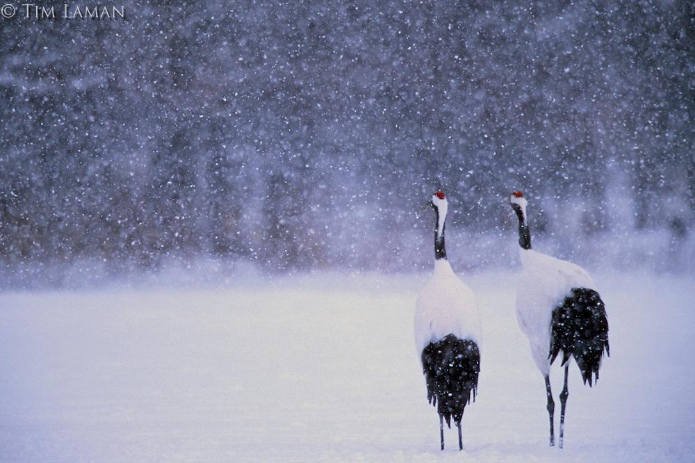 Red-crowned Crane pair in  a snowstorm, Hokkaido, Japan.Endangered Species (IUCN Red List: EN)