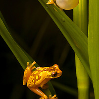 A male Hourglass Frog, Dendropsophus ebraccatus, calls to a female on a blade of grass below in the Osa Peninsula, one of the biologically richest places on earth.
