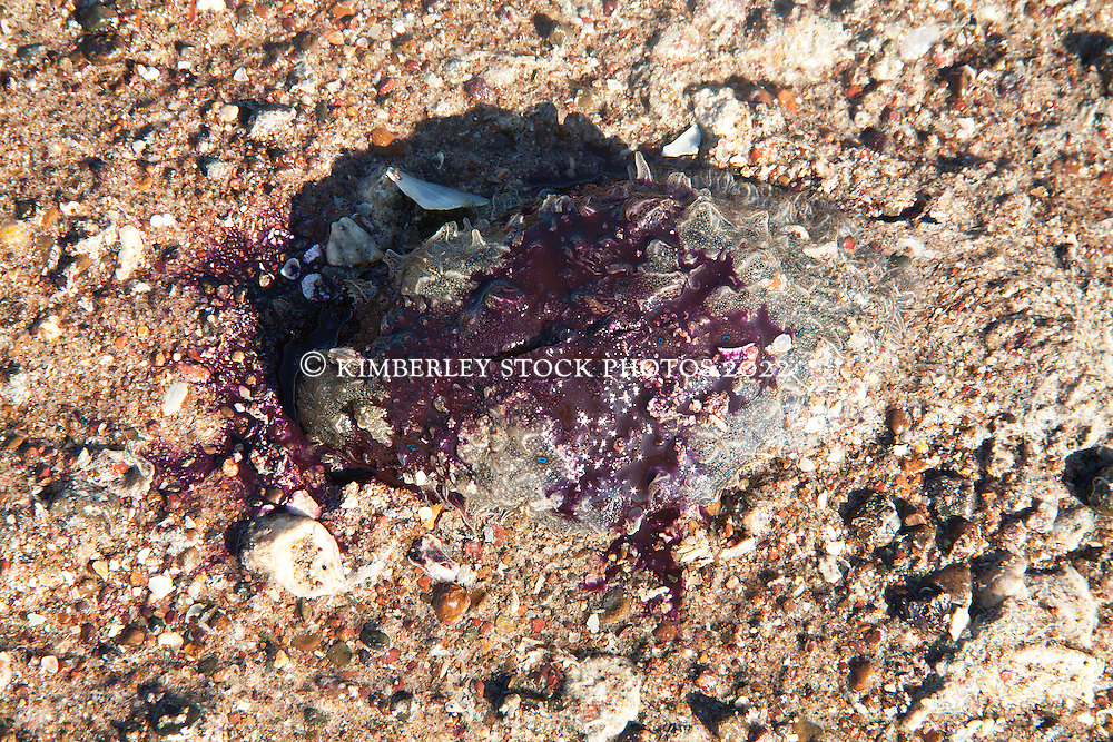 Bursatella leachii, a sea hare, on a gravelly sandbank in Deception Bay in Camden Sound.  The sea slug exudes a protective purple dye when stressed.