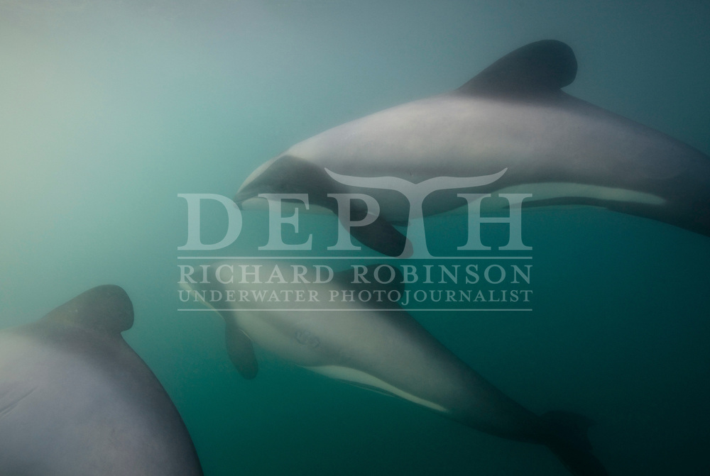 The Endangered Hector's Dolphin (Cephalorhynchus hectori hectori) inside the Akaroa Harbour in the South Island of New Zealand..Monday 29 November 2010.Photograph Richard Robinson © 2010.
