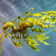 Leafy sea dragon / Phycodurus eques, Monterey Bay Aquarium, California, USA.  Phycodurus eques is a marine fish in the family Syngnathidae, which includes the seahorses. Its long leaf-like protrusions serve as camouflage in its native habitat  along southern and western coasts of Australia. The Monterey Bay Aquarium (MBA) was founded in 1984 on the site of a former sardine cannery on Cannery Row along the Pacific Ocean shoreline. Fresh ocean water is circulated continuously from Monterey Bay, filtered for visibility during the day and unfiltered at night to bring in food. Monterey was the capital of Alta California from 1777 to 1846 under both Spain and Mexico. In 1846 the US flag was raised over the Customs House, and California was claimed for the United States.