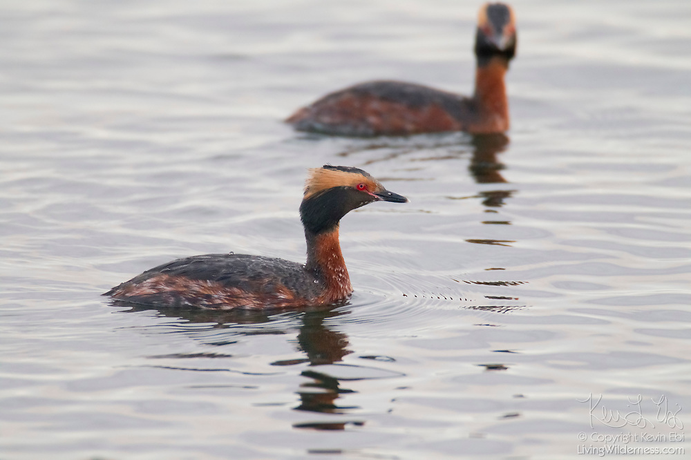 Two horned grebes, also known as Slavonian grebes (Podiceps auritus), swim together on Puget Sound near Edmonds, Washington. These grebes are showing their breeding plumage. They are excellent swimmers and divers and pursue fish underwater.