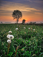 A grassfield featuring some dandelions set on a circle, and the warm tones of the rising sun in the eastern sky..This picture was taken on a fresh early morning of October, in the countryside near to Scalenghe, province of Turin, Piedmont, italy, while some mist in the distance was spreading the dawn light tinging the sky with beautiful yellows and oranges..