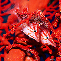 &quot;Hawkfish&quot; - A pair of longnose hawkfish camouflage themselves in a red gorgonian sea fan in Kimbe Bay, Papua New Guinea. <br />
