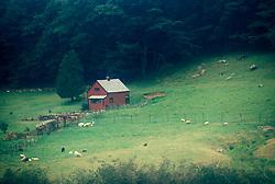 Landscape hillside sheep graze in green pasture