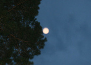 A perfectly round pink orb, floating between the photographer and trees at dusk.
