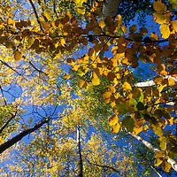 Canada, British Columbia, Shelley, Fall foliage in birch trees along Yellowhead Highway on autumn morning