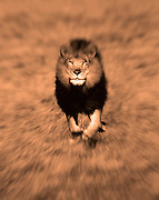 Image of a male lion (panthera leo) portrait and running at the Masai Mara National Reserve in Kenya, Africa