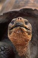 Giant tortoise, Geochelone nigra, Alcedo Volcano, Isabela Island, Galapagos Islands