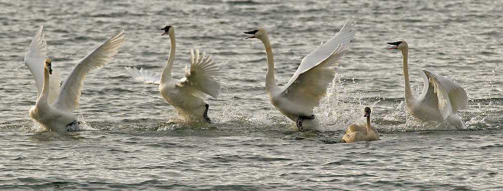 A migratory winter population of trumpeter swans begin to arrive in Yellowstone Park in November. Many converge on Yellowstone Lake, where these mated pairs were loudly arguing over personal space issues.