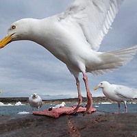 Canada, Nunavut Territory, Repulse Bay, Glaucous-wing Seagull (Larus glaucescens) feeding on remains of Bearded Seal killed by Inuit hunters near Harbour Islands