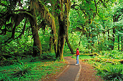 Hiker in the Hall of Mosses, Hoh Rain Forest, Olympic National Park, Washington