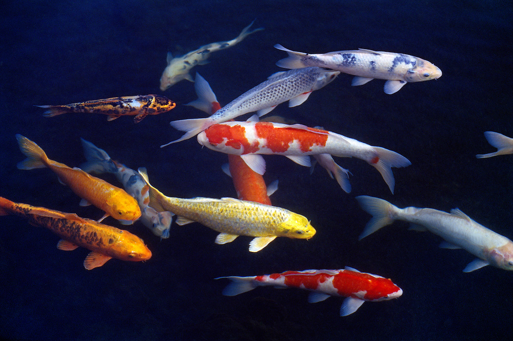 Colorful koi greg vaughn photography for Colorful pond fish