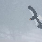Steller's Sea Eagle in flight in winter on the island of Hokkaido in Japan.