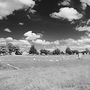 Grazing Sheep Among The Stones - Avebury, UK - Infrared Black & White