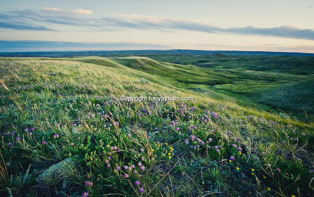 wildlife flowers on prairie near frenchman creek north valley county montana