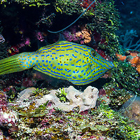 Scrawled filefish (Aluterus scriptus) on reef; West End, Roatan, Honduras.