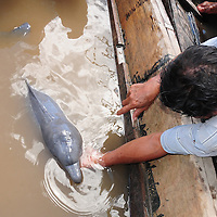 Amazon River, Peru - A one week Amazon Pink river dolphin (Inia Geoffrensis) or Boto,had been separated from the mother by fishermen, and was kept in a wooden canoe to be sold to a US Aquarium. Photo series shows the rescue of the dolphin, organized by DIREPRO, ACOBIA, Omacha Foundation and the Peruvian Military. The baby died five minutes away from the rescue center, after a long way to safety.
