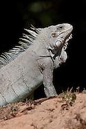 Green Iguana (Iguana iguana), Pantanal, Brazil