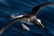 Thalassarche bulleri (Buller's Albatross)