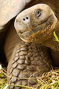 Ecuador, Galapagos Islands, Santa Cruz Island. Giant Tortoise smiling in green grass.
