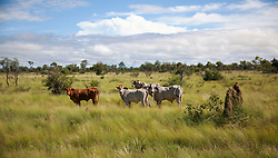 Cattle gather round a termite mound in pasture on the road from Broome to Derby in the Kimberley wet season.