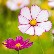 Cosmos in an English garden, photographed in August.