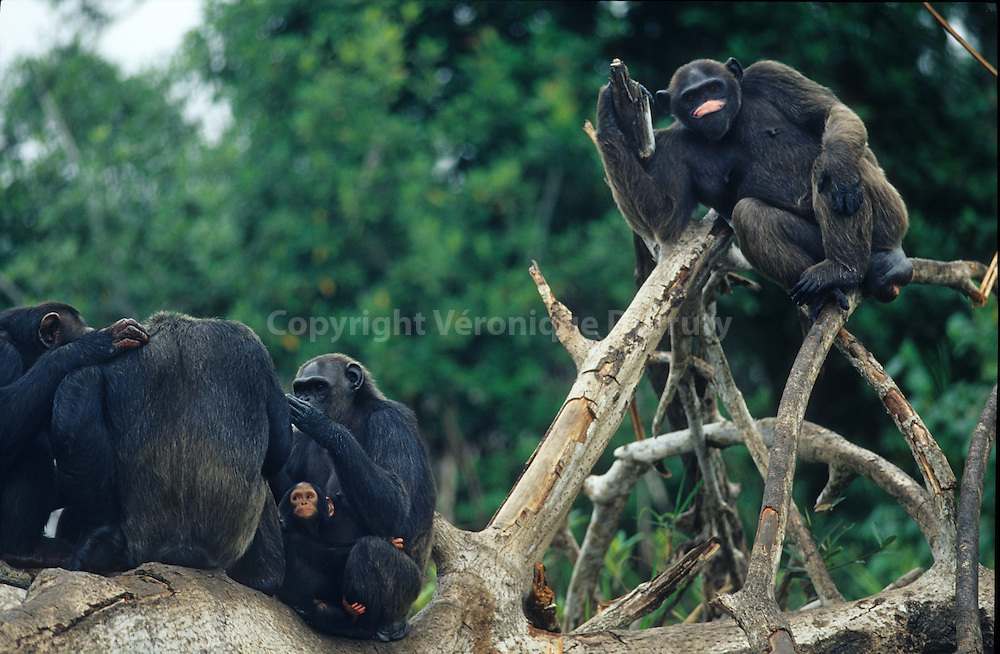 CHIMPANZEES GROUP, CONKOUATI-DOULI NATIONAL PARK, CONGO