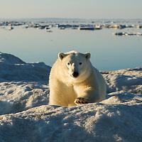 Canada, Nunavut Territory, White Island, Polar Bear (Ursus maritimus) stalking across sea ice in Frozen Strait along Hudson Bay