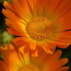 Two orange daisies shot with macro lens and tight depth of field.