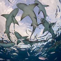 A school of sharks swimming, Bahamas