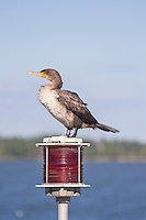 Cormorant perched atop a red warning light.
