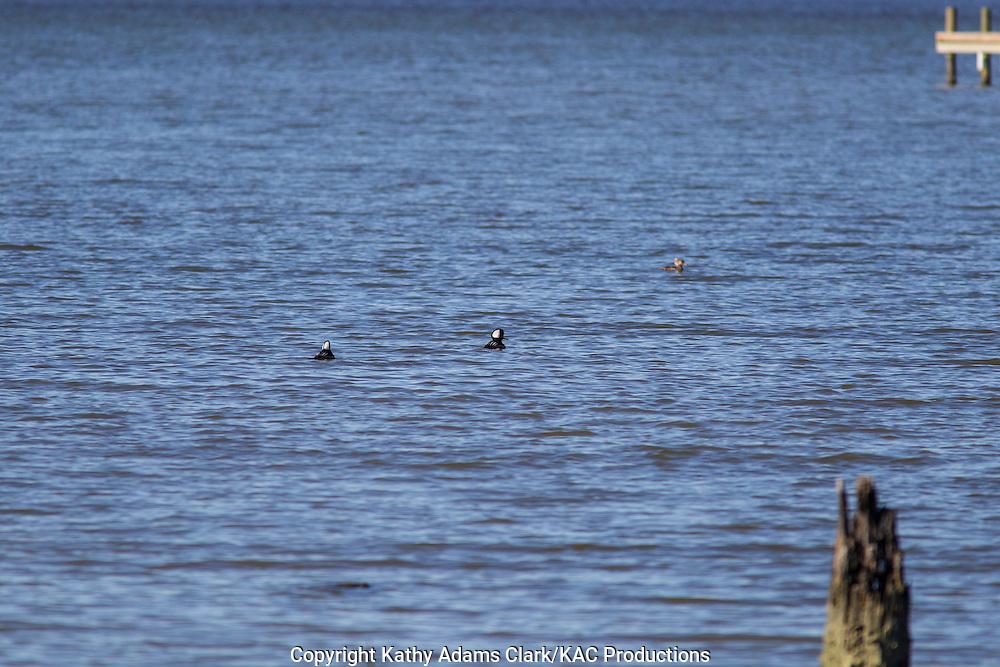 Hooded merganser, Lophodytes cucullatus, adult males with females, Baytown, Texas, winter.