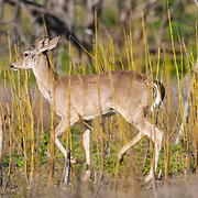 Male White-tailed deer; Odocoileus virginianus in Laredo, Texas in spring.