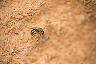 A Sweat Bee (Lasioglossum sp) collecting materials from clay embankment near nesting site, Pickens, South Carolina, USA