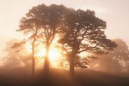 Sun rising behind Scots pines, Glen Affric, Scotland