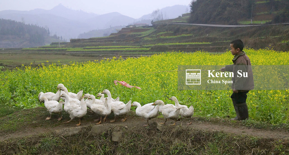 Boy herding ducks, Guizhou, China