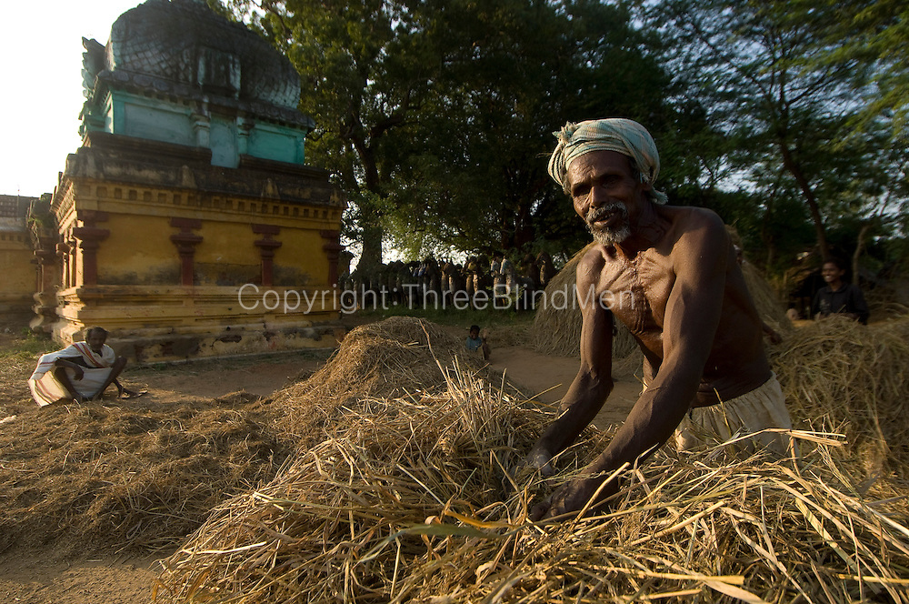 Farmer working beside a Hindu temple in South India. Rice Harvest season. Tamil Nadu.