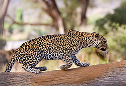 Leopard resting on a tree. Samburu National Reserve, is located on the banks of the Ewaso Ng'iro river in Kenya; Africa. There is a wide variety of animal and bird life seen at Samburu National Reserve / Leopardo descansando em uma arvore em Samburu, localizado no Rift Valley, no Quenia. Eh um dos grandes parques nacionais do Quenia, na Africa importante refugio de vida selvagem
