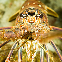 A Caribbean Spiny lobster.