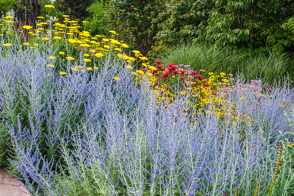 A perennial border with feathery blue Perovskia with yellow Achillea and Rudbeckia and red Monarda